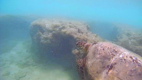 After almost 45 minutes of swimming around Hanauma Bay, I finally found a turtle while on my way back!