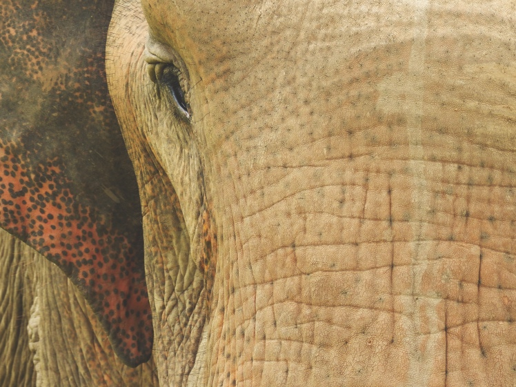 One of the elephants at Elephant Nature Park