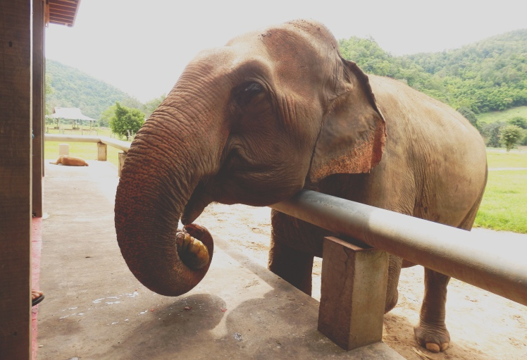 A hungry elephant comes for his 2nd breakfast in the feeding station