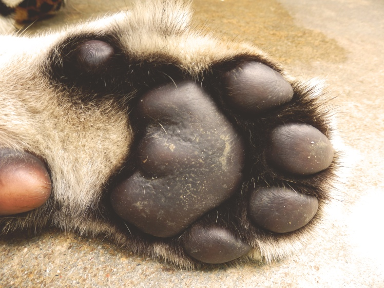 Huge as adult tiger paw.