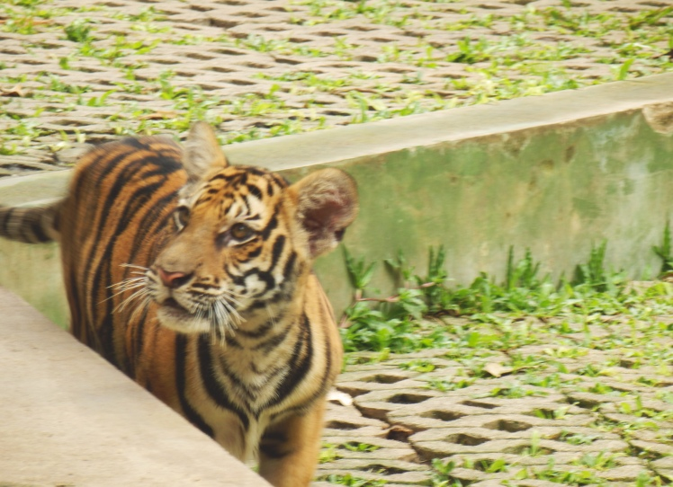 Fast moving little tigers = blurry photos