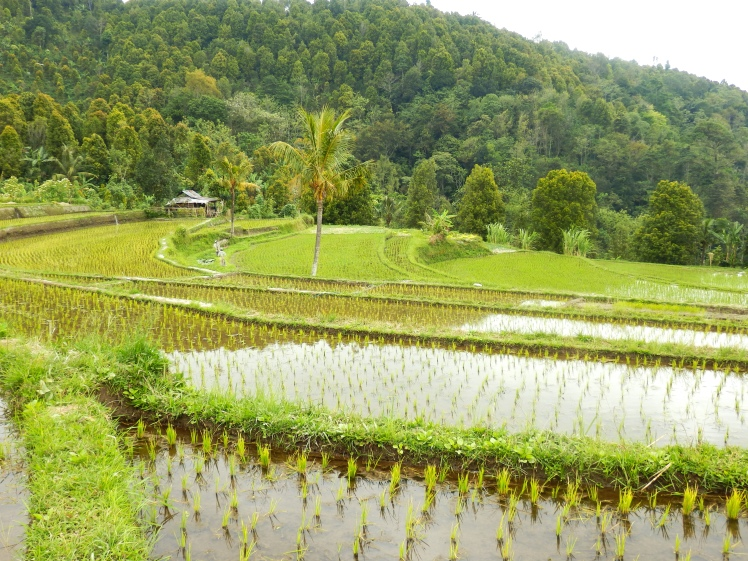 "Along the little dirt road going uphill on our ""shortcut"", we have expansive views of rice terraces"