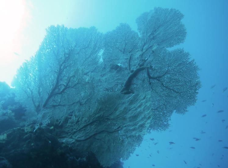 Beautiful fan coral