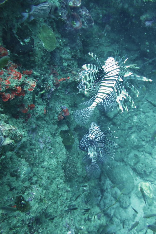 More lion fish
