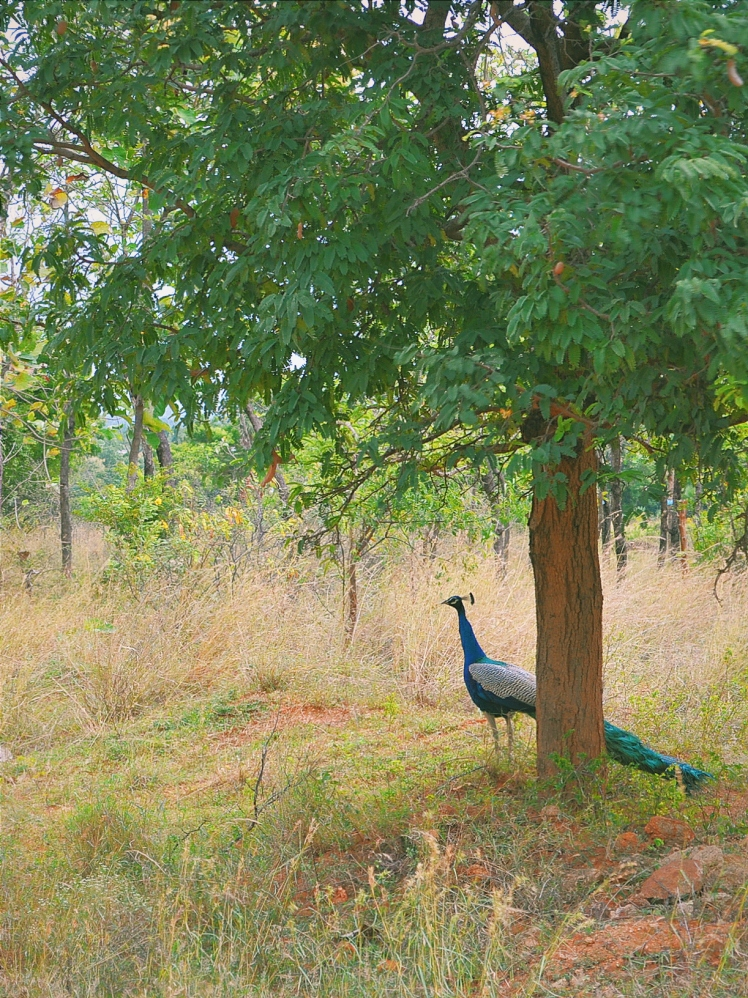 One of the many resident peacocks on site